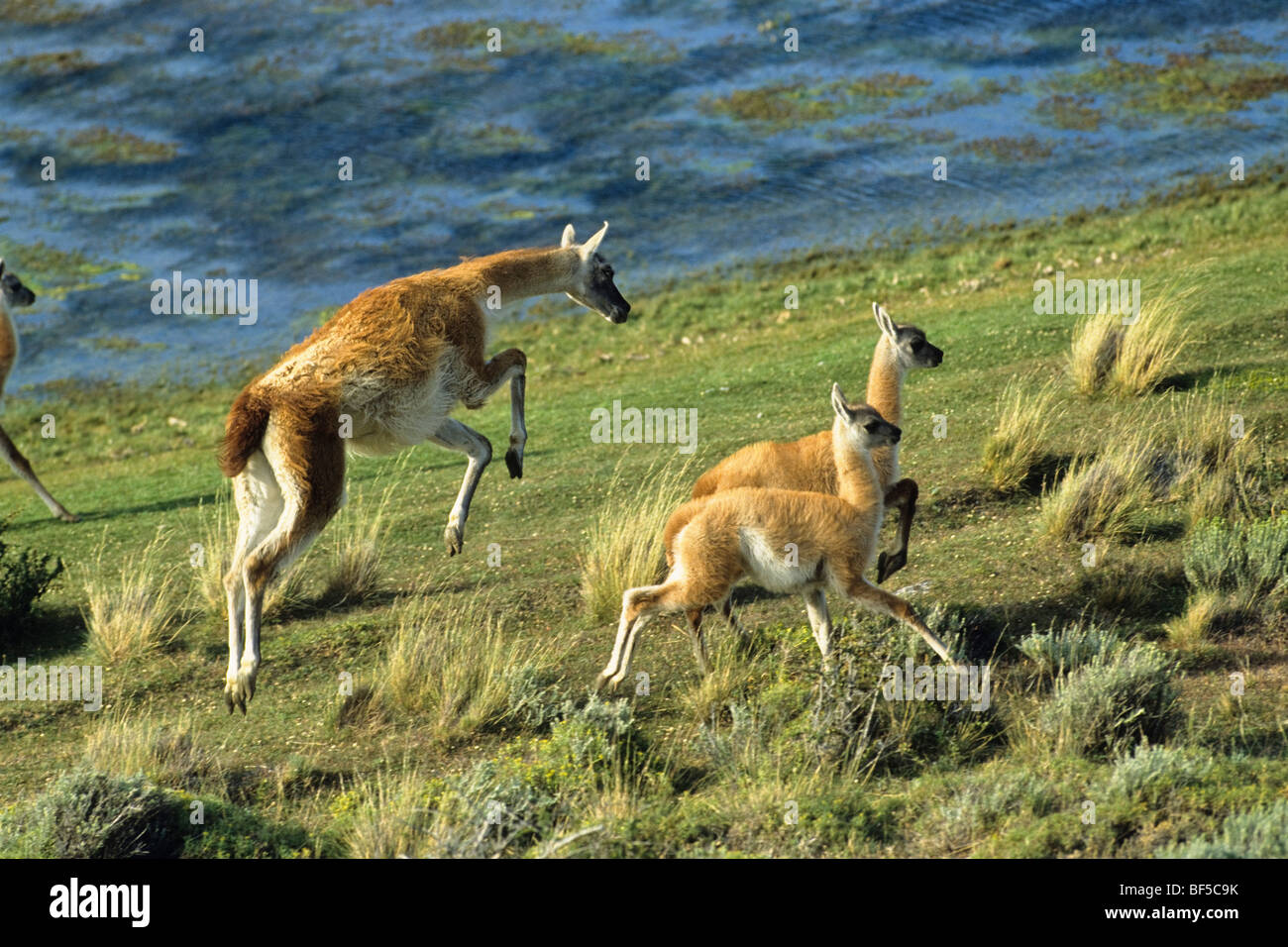 Guanaco (Lama guanicoe) with young, Torres del Paine National Park, Patagonia, Chile, South America - Stock Image