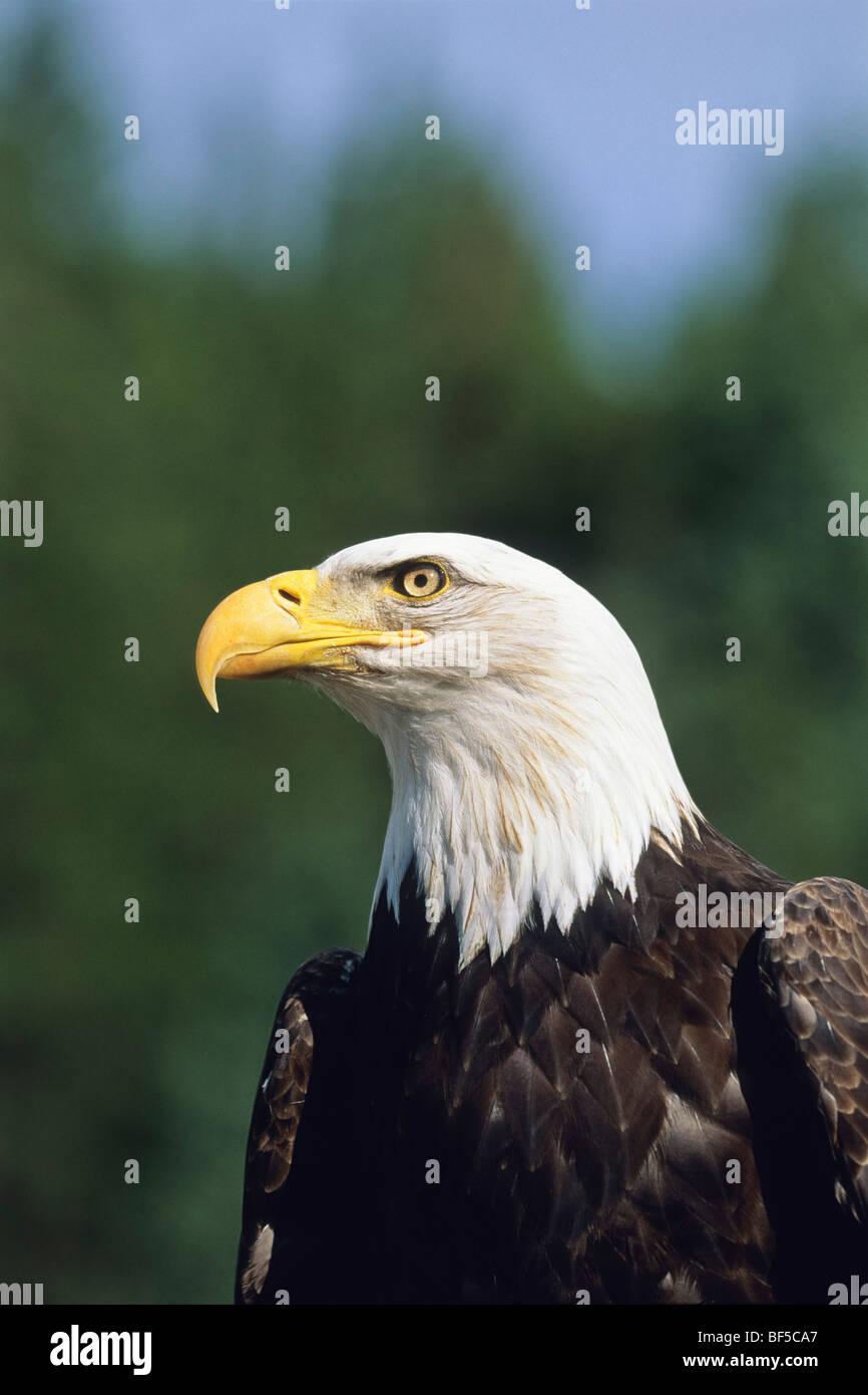 Bald Eagle (Haliaeetus leucocephalus), heraldic animal, Alaska, North America - Stock Image