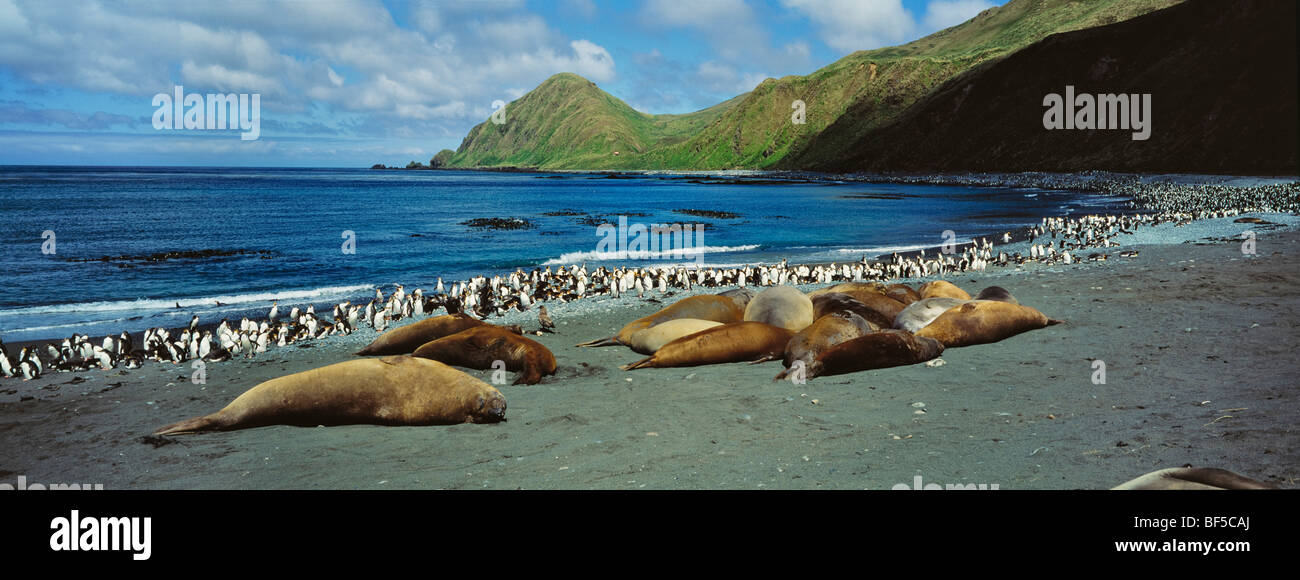 Southern elephant seals (Mirounga leonina), and Royal Penguins (Eudyptes schlegeli), Macquarie Island, Australia, - Stock Image