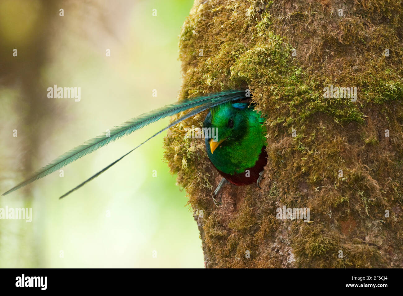 Male resplendent quetzal in its nest tree in Costa Rica. - Stock Image