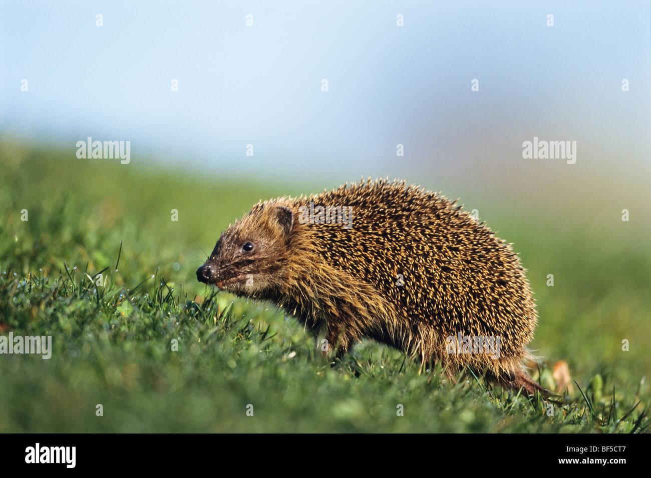 European Hedgehog (Erinaceus europaeus) in spring - Stock Image