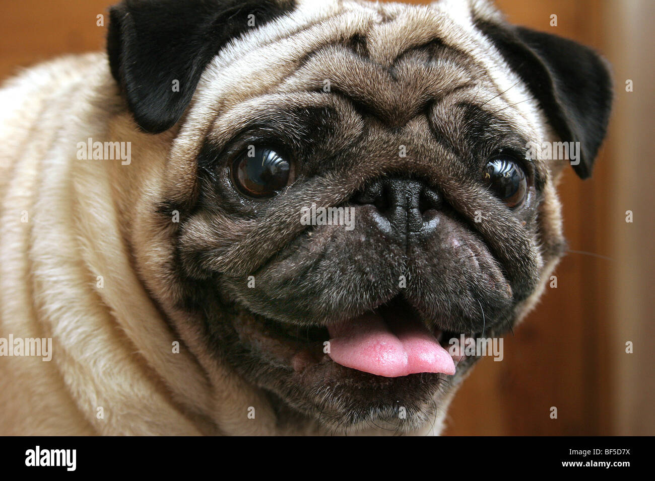Happy Pug - Stock Image