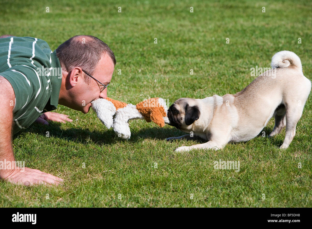 A young male pug and his owner playing happily in a meadow with a plush toy - Stock Image