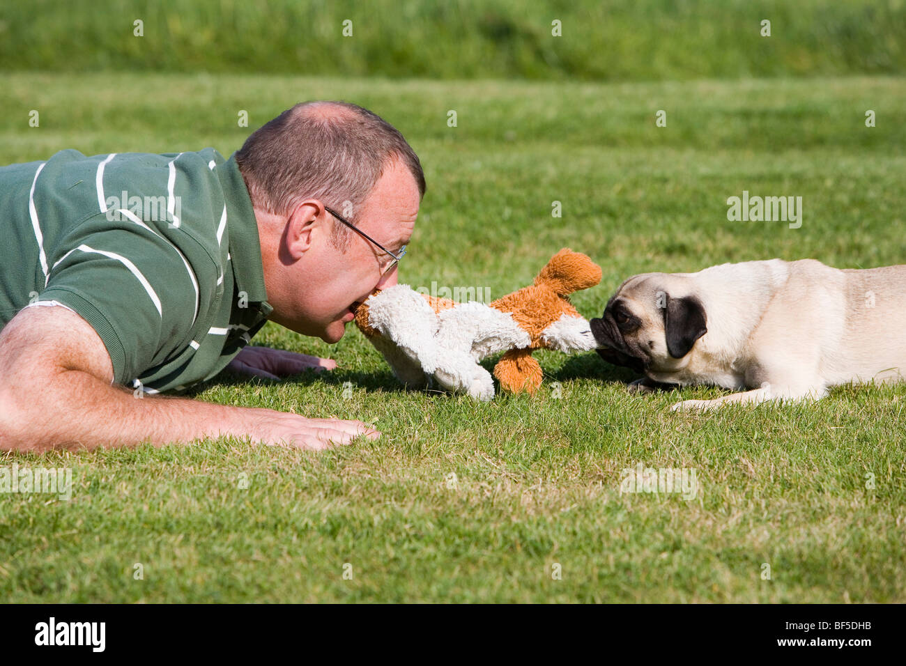 A young male pug and his keeper playing happily in a meadow with a plush toy - Stock Image