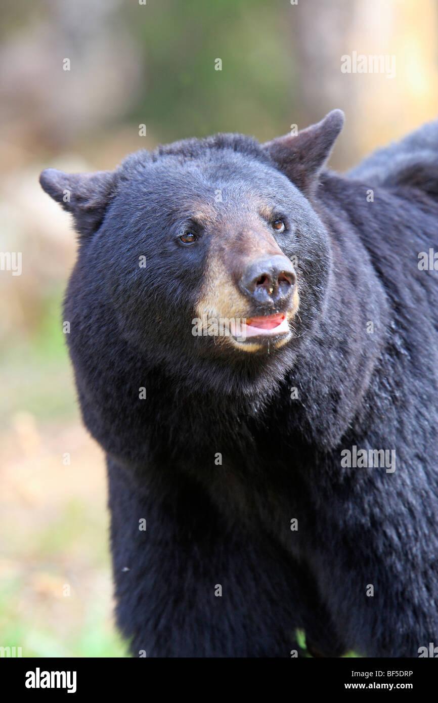 American Black Bear (Ursus americanus). Adult male, portrait. Stock Photo