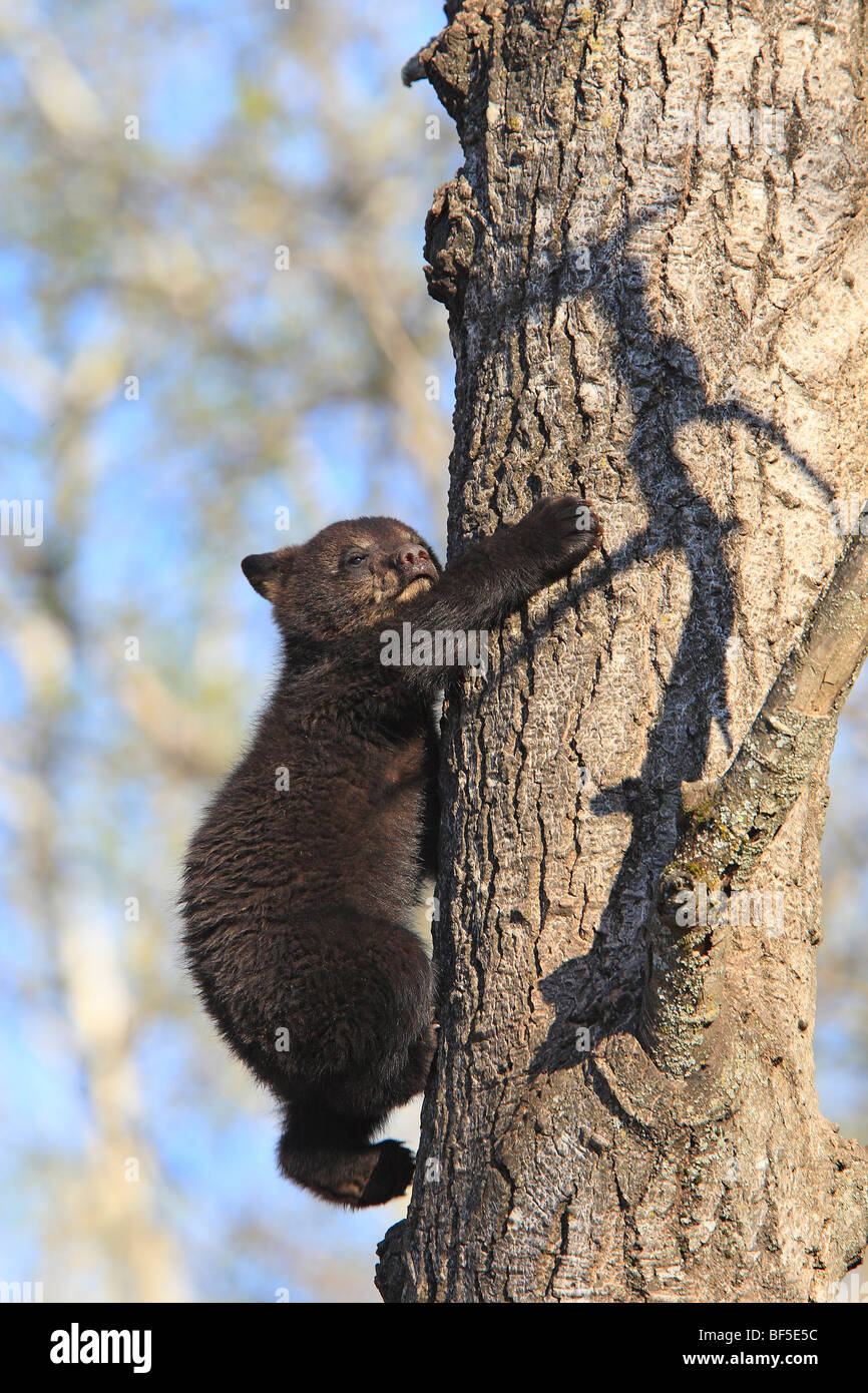 American Black Bear (Ursus americanus). Spring cub (4 month old) climbing a tree to be secure. - Stock Image