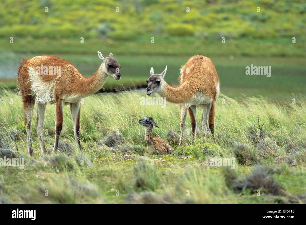 Guanacos (Lama guanicoe) with newborn, Torres del Paine National Park, Patagonia, Chile, South America - Stock Image