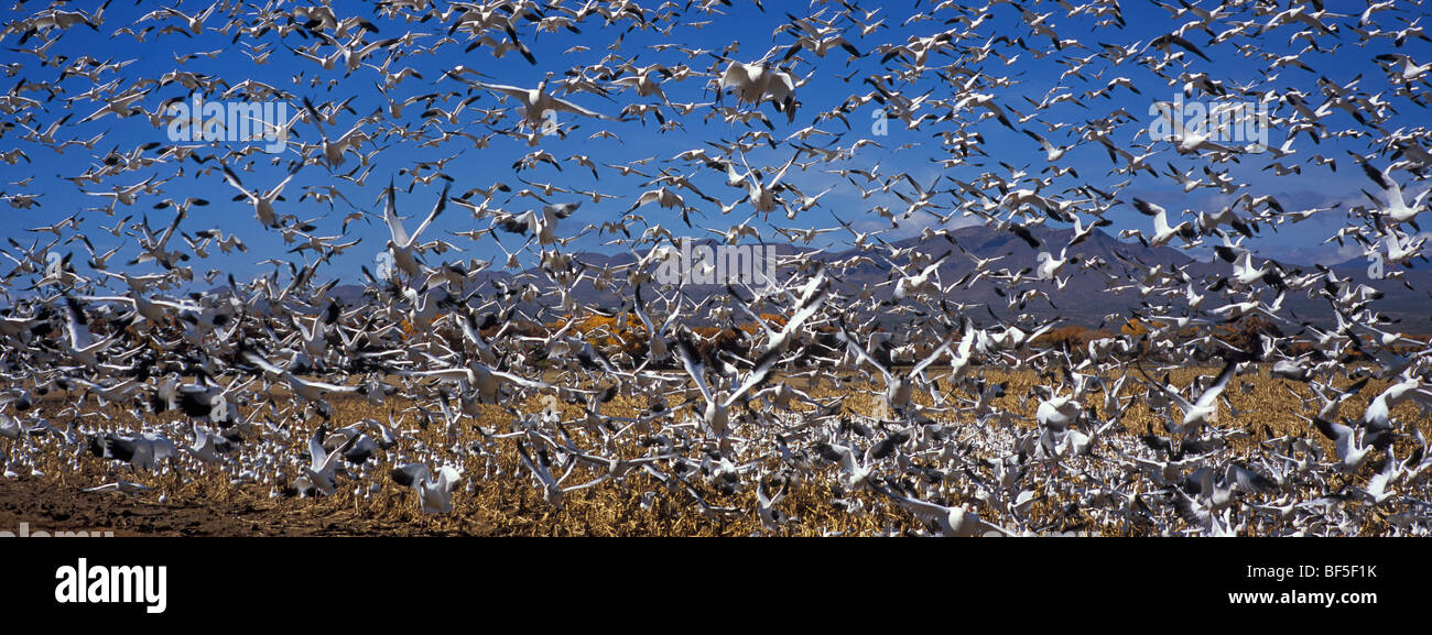 Snow Geese (Anser caerulescens atlanticus) wintering in Bosque del Apache, New Mexico, USA - Stock Image