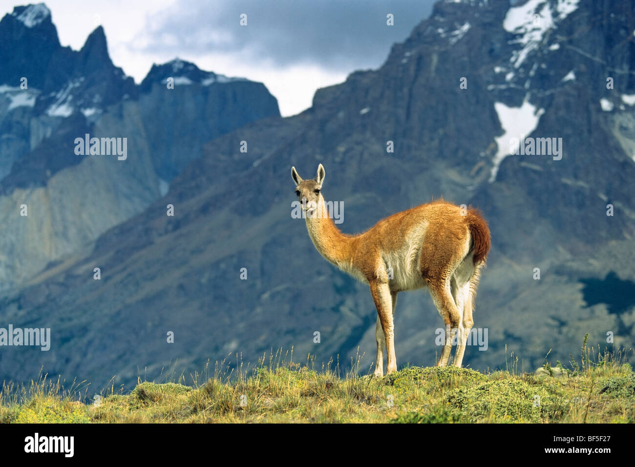 Guanaco (Lama guanicoe), with Cuernos del Paine, Paine mountains, Torres del Paine National Park, Patagonia, Chile - Stock Image