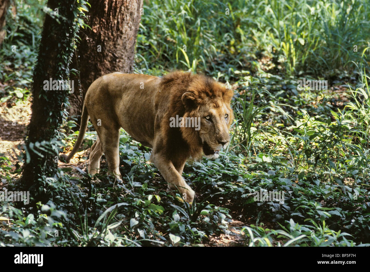 Asiatische Lions panthera leo persica india stock photo