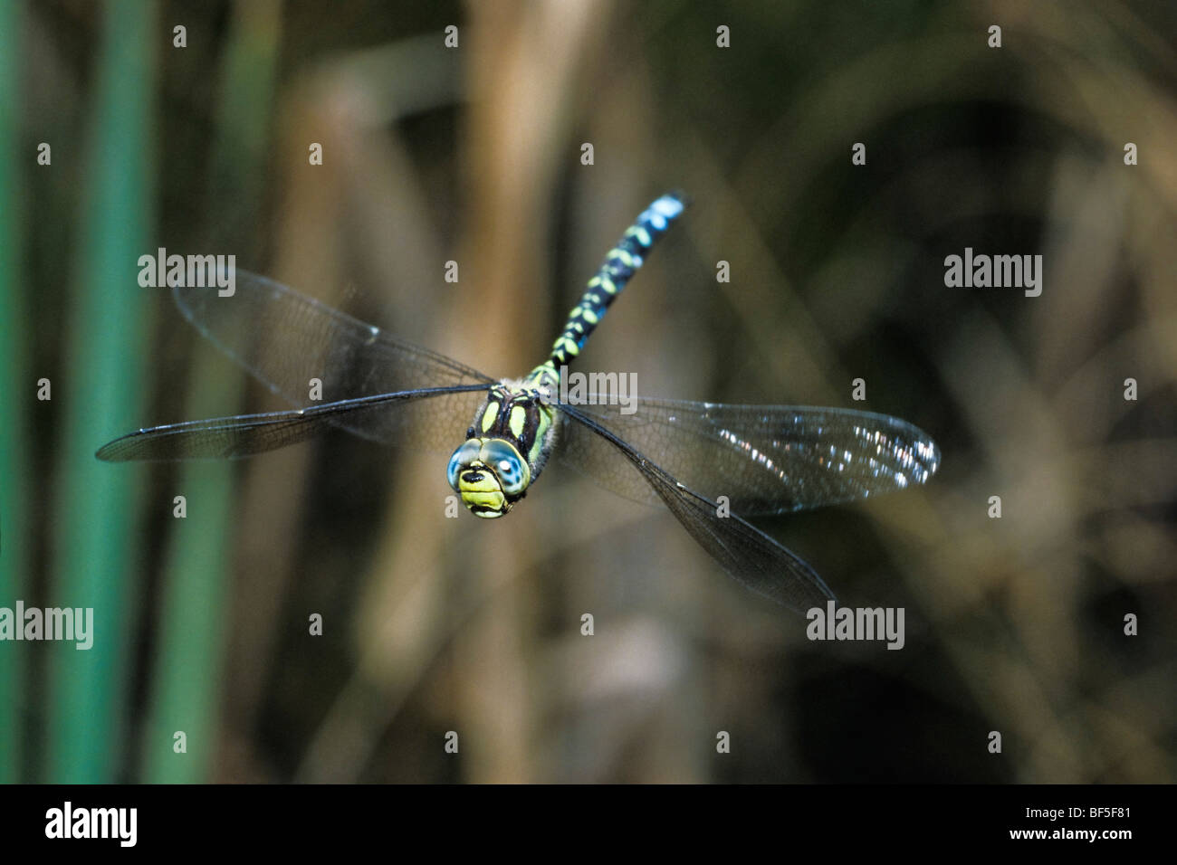 Dragonfly (Aeshna cyanea) hovering - Stock Image