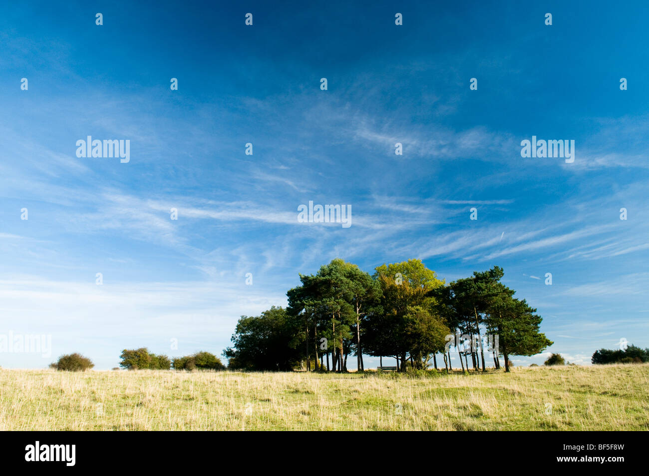 Copse of trees planted in memory of Lord Baden-Powell on Rodborough Common near Stroud in The Cotswolds Stock Photo