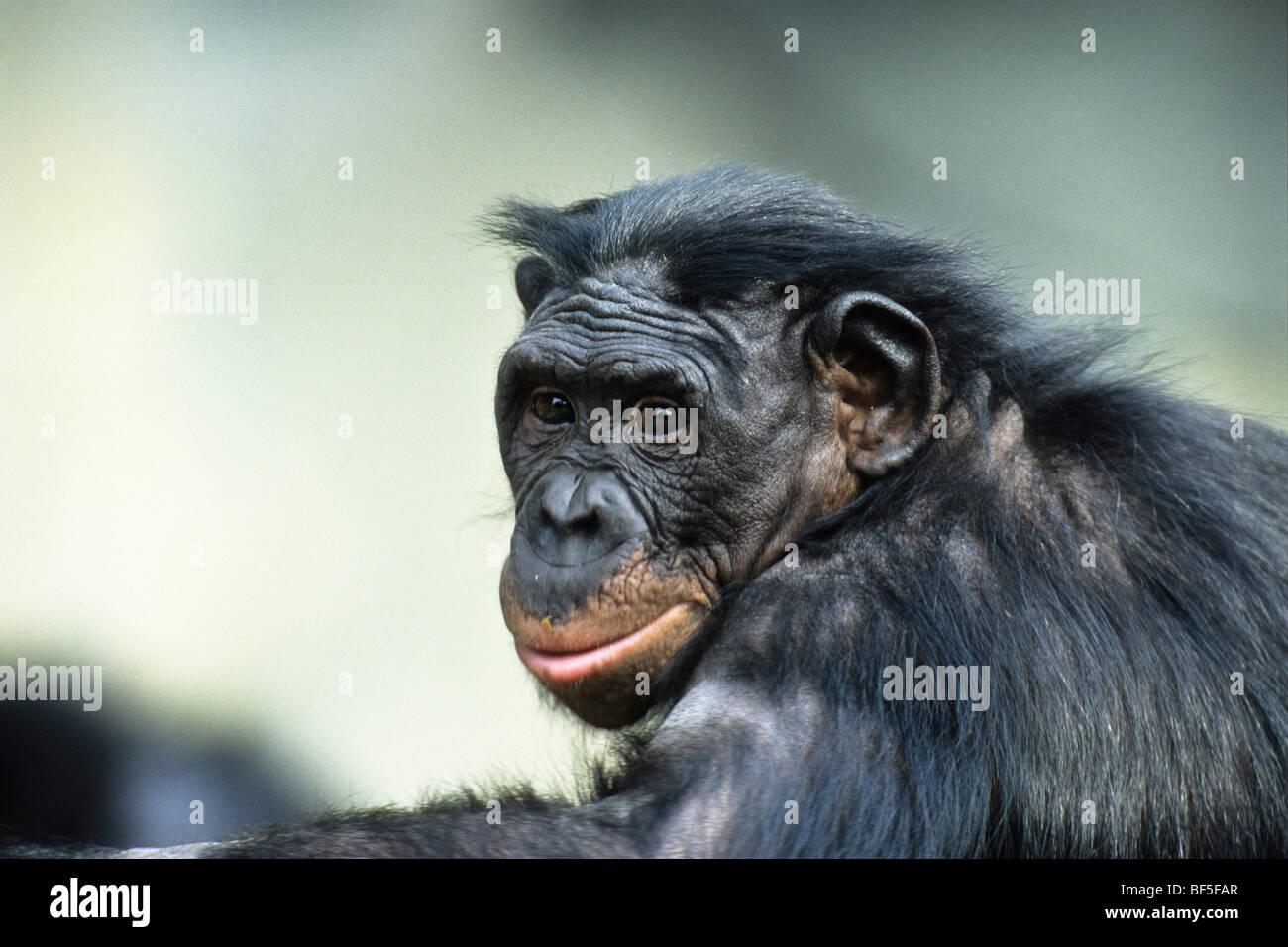 Bonobo, Chimpanzee (Pan paniscus), Africa - Stock Image