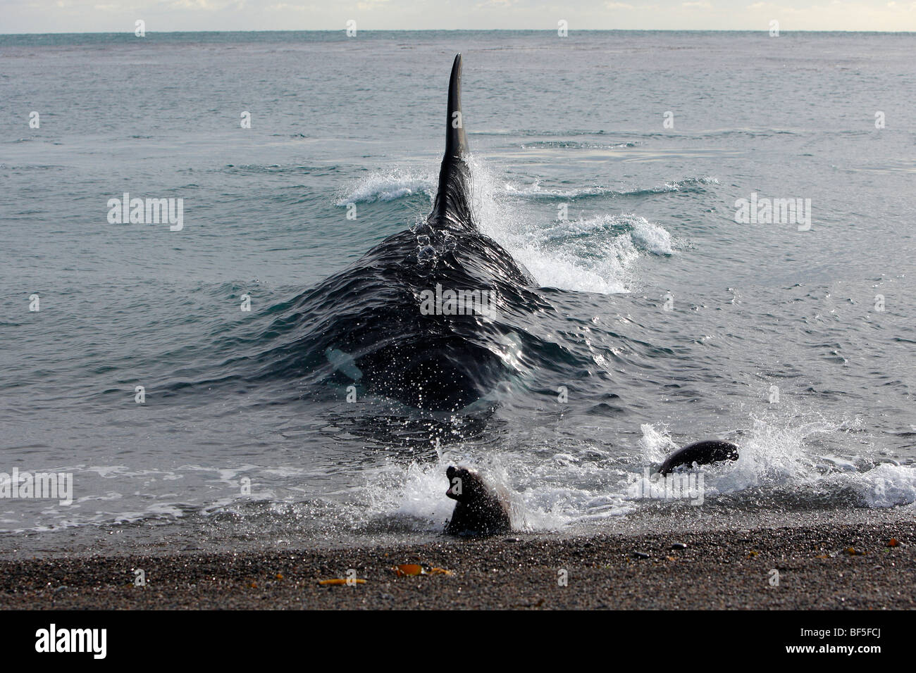 orca whale (orcinus orca). male attacking a young southern sea lion