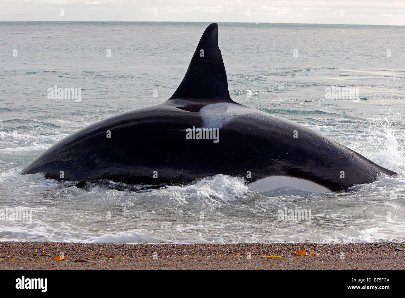 Attacking Whale Stock Photos & Attacking Whale Stock Images