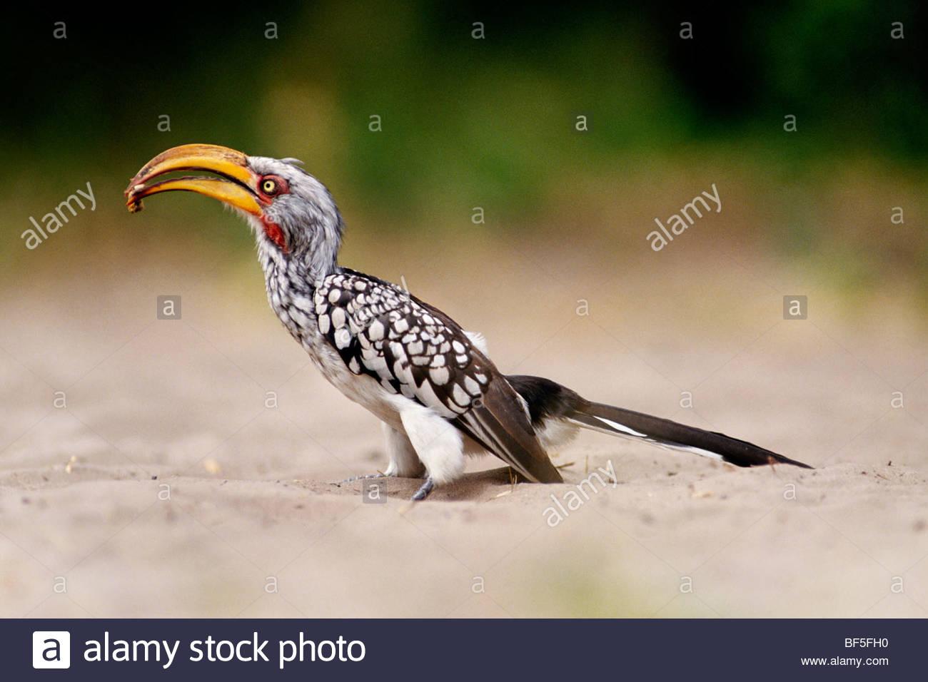 Southern yellow-billed hornbill holding prey, Tockus leucomelas, Savute, Botswana - Stock Image