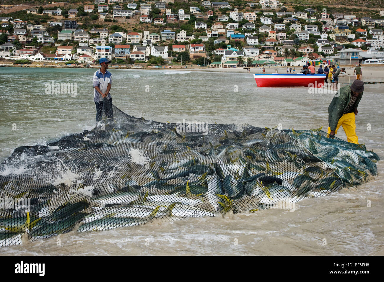 Fishermen dragging net full of yellowtail amberjack fish onto beach. Fishoek   near Cape Town South Africa - Stock Image