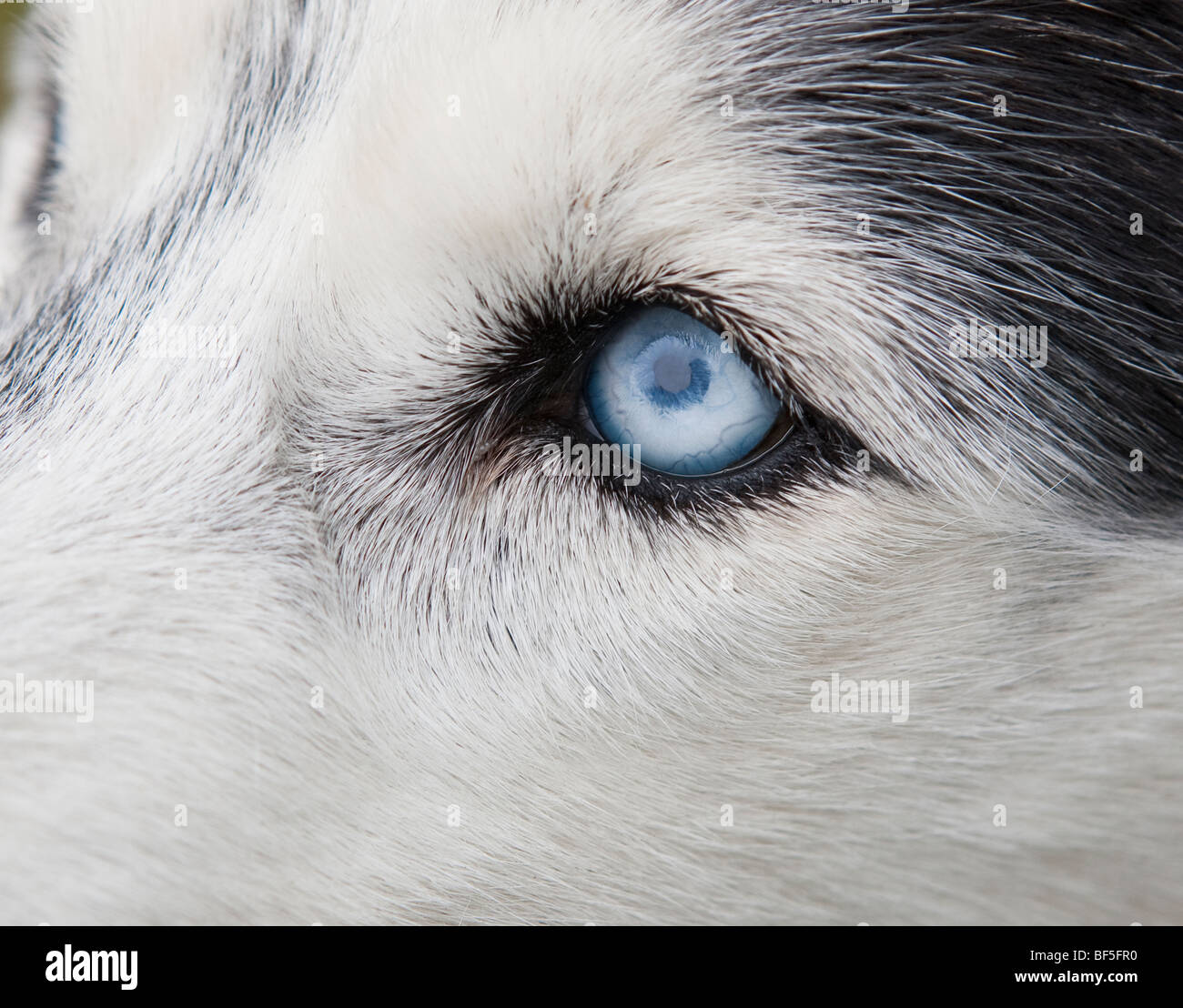 Siberian Husky, Eastern Iceland Stock Photo