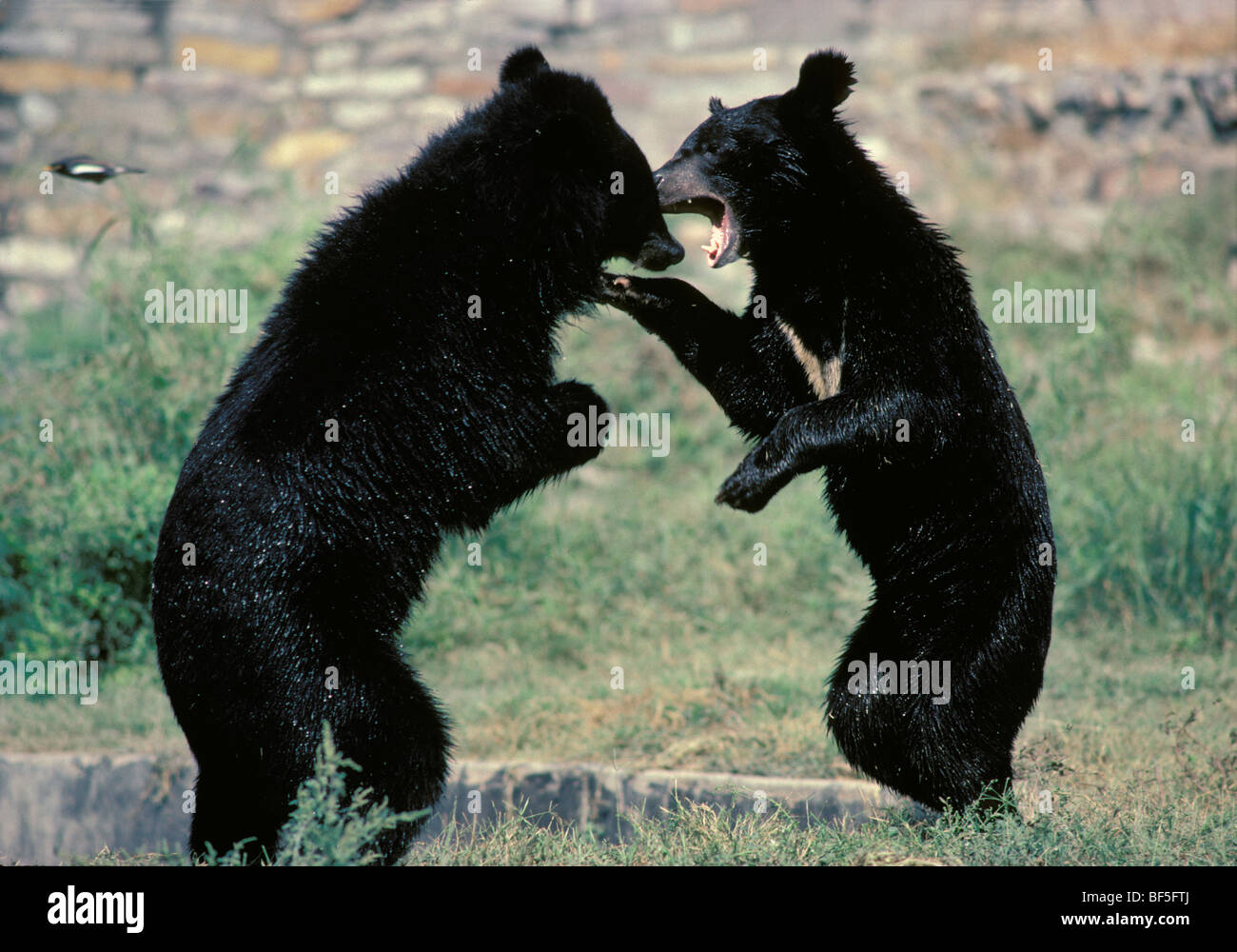 Asiatic Black Bears (Ursus thibetanus) fighting, Asia Stock Photo