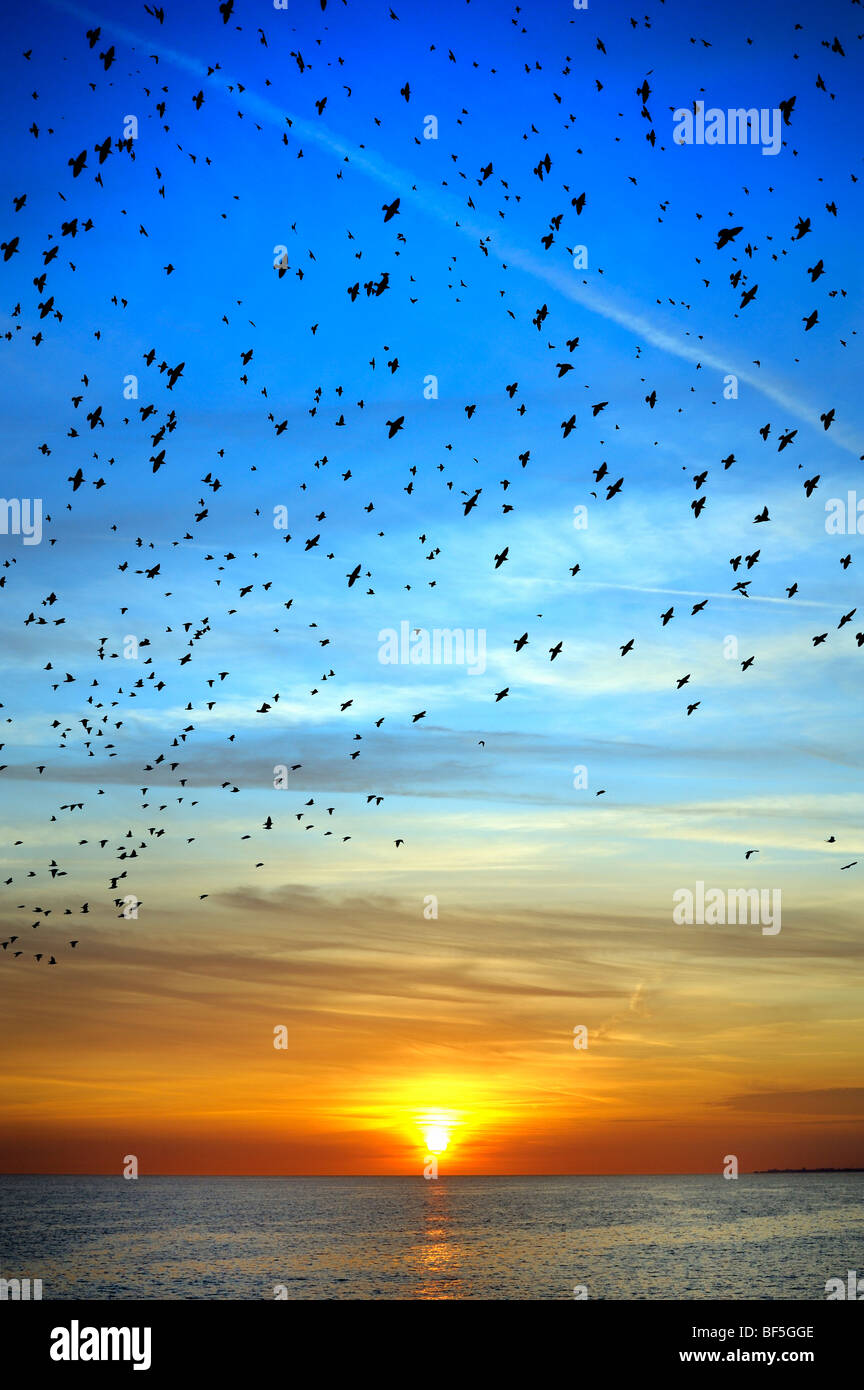 Starlings swarm over the sea at sunset - Stock Image
