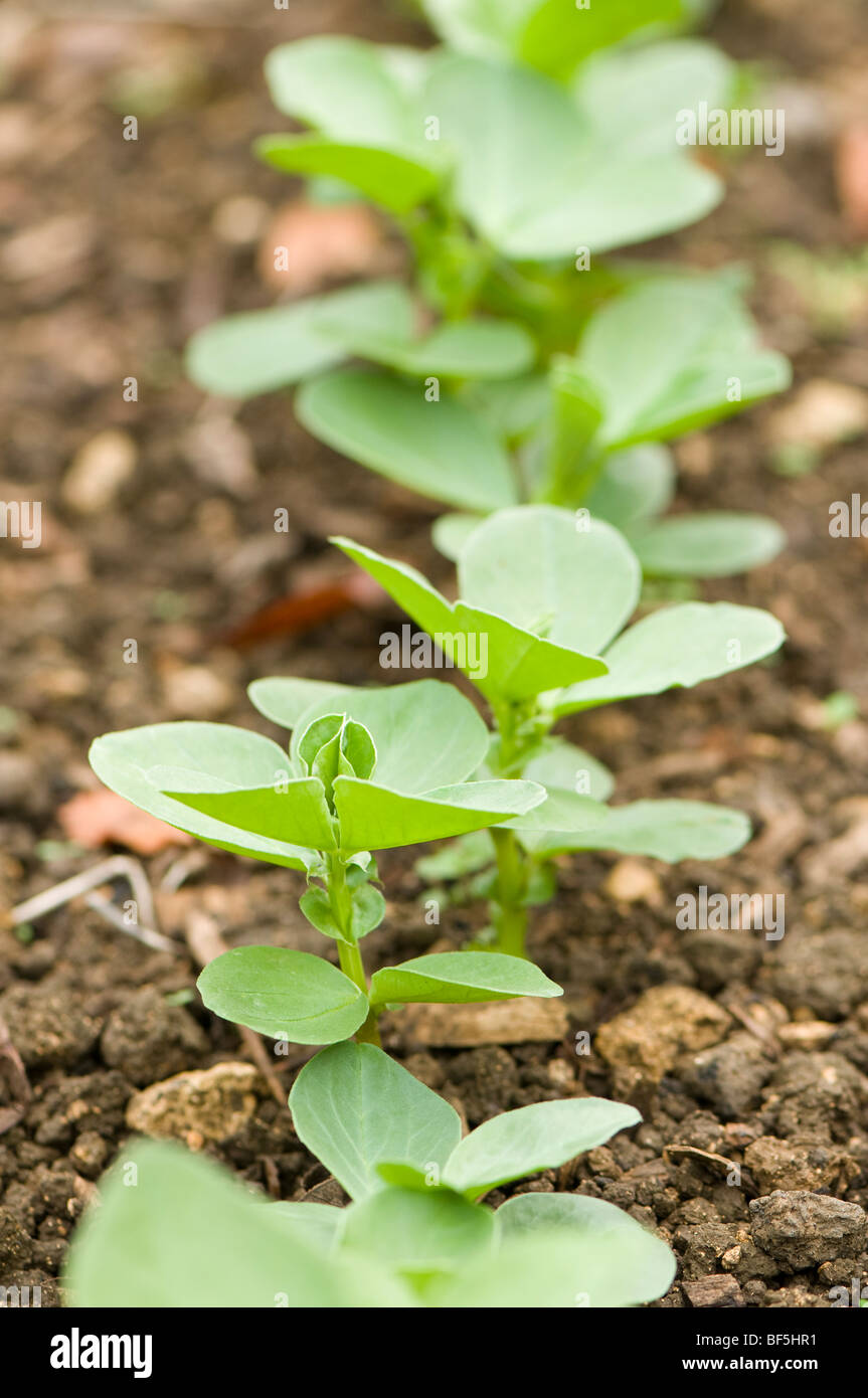 Field beans sown as a green manure to improve soil fertility at Painswick Rococo Garden in the Cotswolds Stock Photo