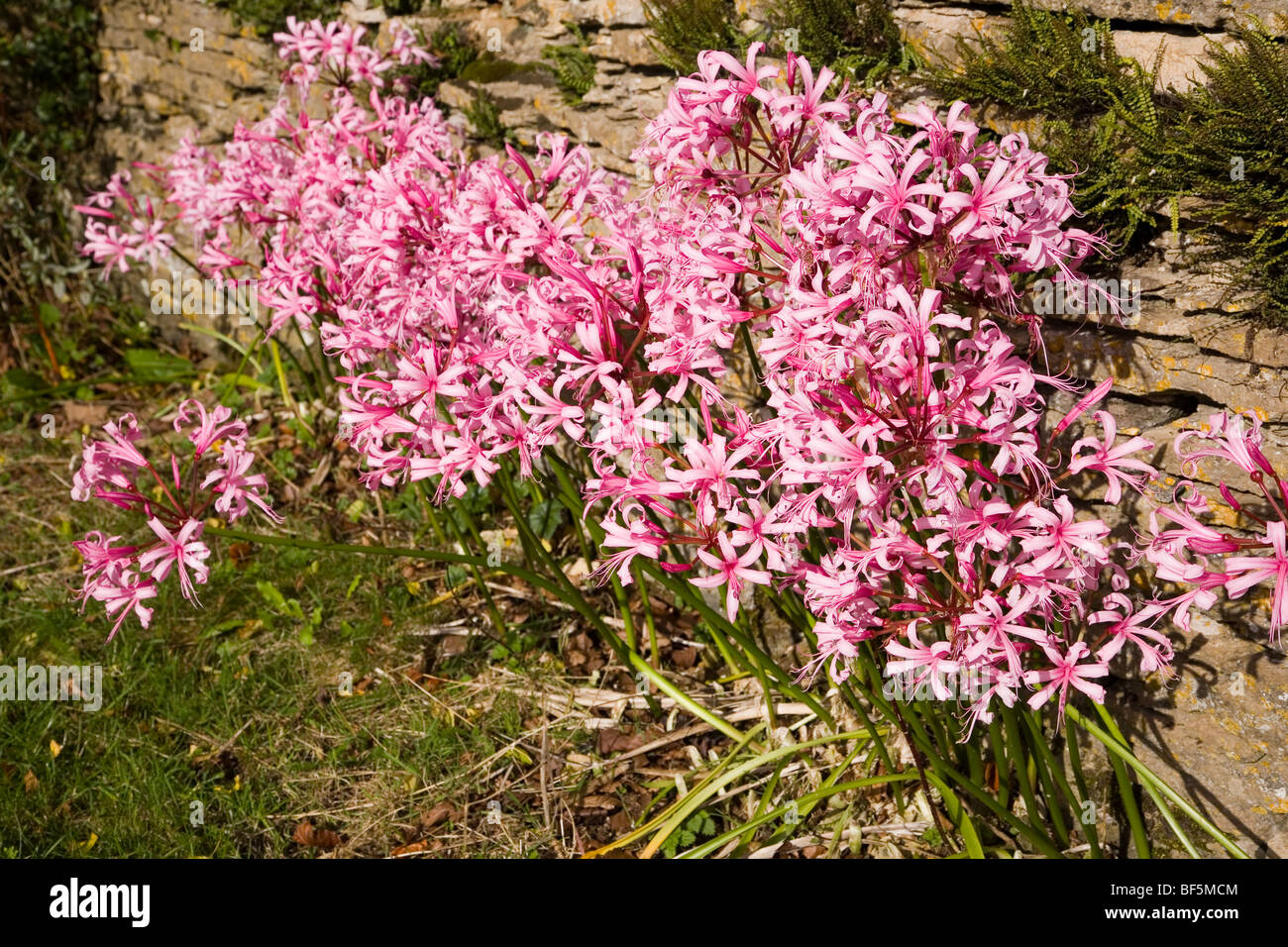 Nerine Lilies (sometimes called Guernsey Lilies) growing beside a stone wall in the Cotswolds - Stock Image