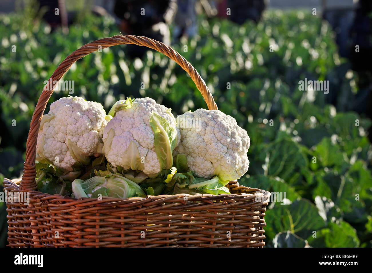 Cauliflower in basket. Fresh cauliflower being harvested from fields and awaiting shipment. South Africa Stock Photo