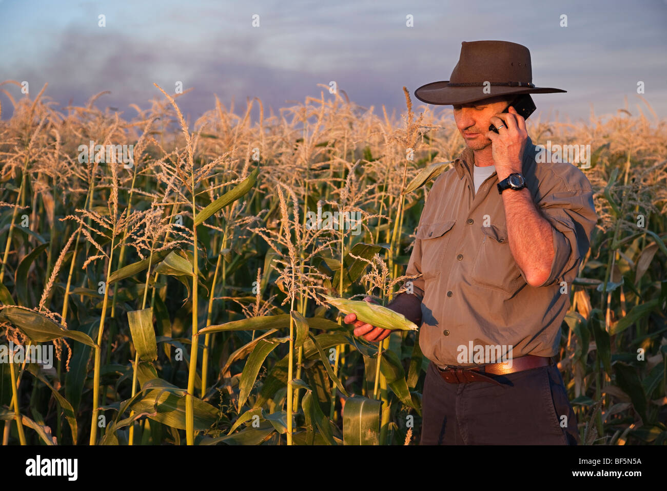 Farmer checking on his miele crop in the field - Stock Image