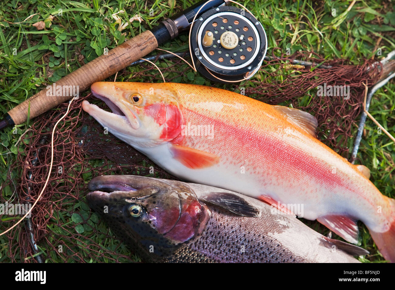 golden trout, rainbow trout rod, reel and net - Stock Image