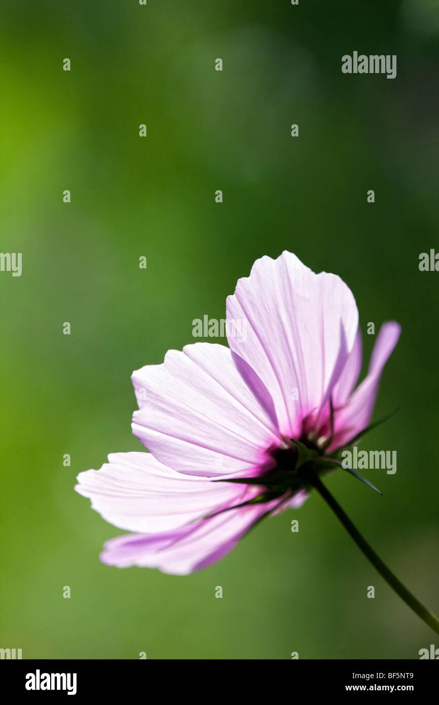 Cosmos bipinnatus - Stock Image