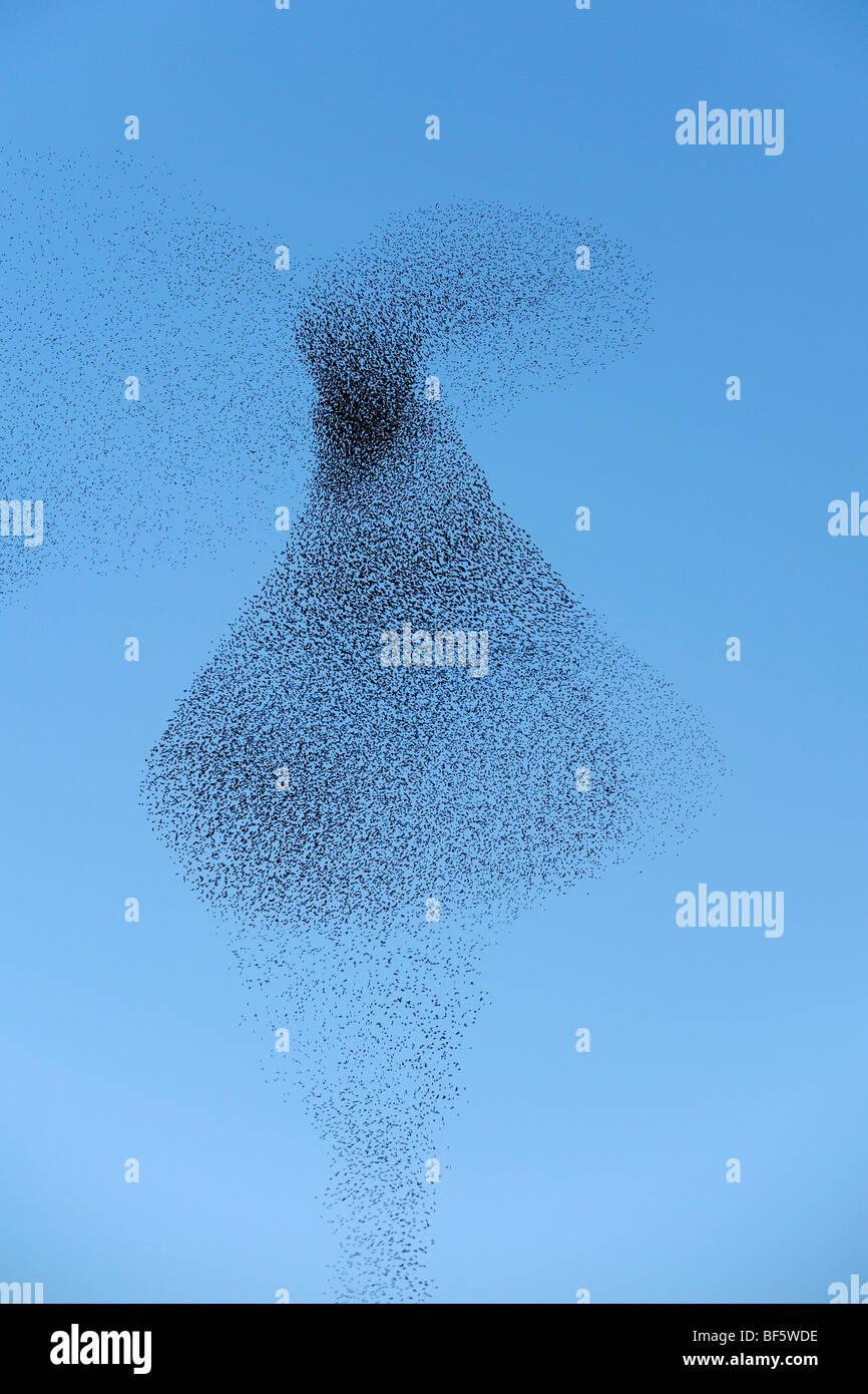 European Starling (Sturnus vulgaris), Flock migrating in winter at sunset, Rome, Italy, Europe - Stock Image