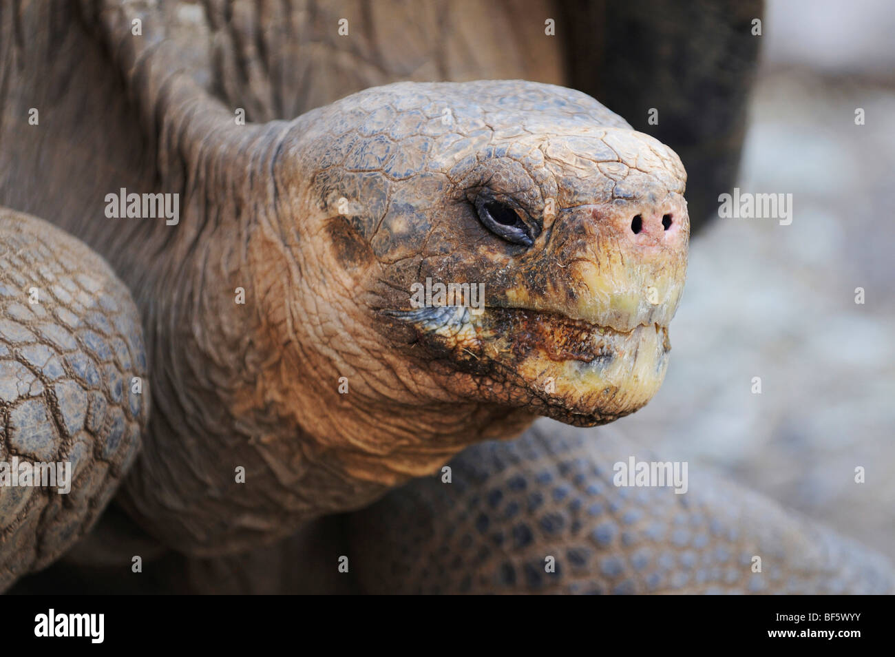 Galapagos Giant Tortoise (Geochelone elephantopus), adult, Galapagos Islands, Ecuador, South America - Stock Image