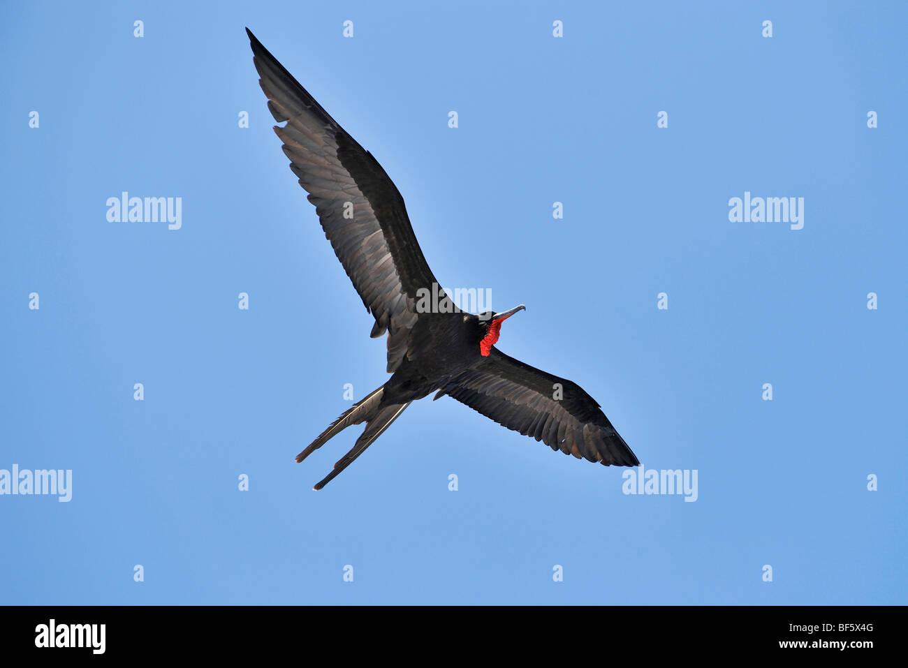 Great Frigatebird (Fregata minor), male in flight, Seymour Norte Island, Galapagos Islands, Ecuador, South America Stock Photo