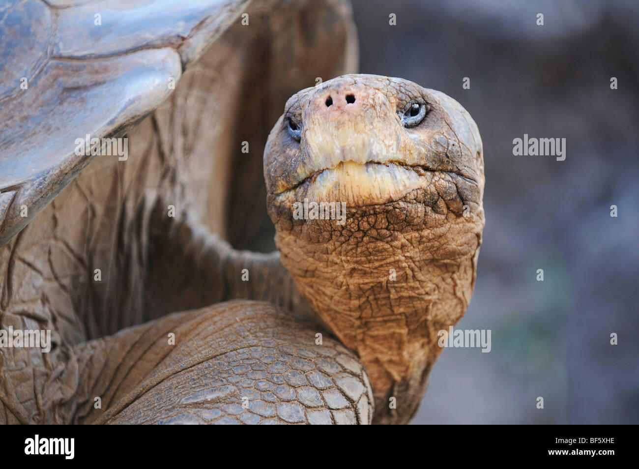 Galapagos Giant Tortoise (Geochelone elephantopus), adult, Galapagos Islands, Ecuador, South America - Stock Image