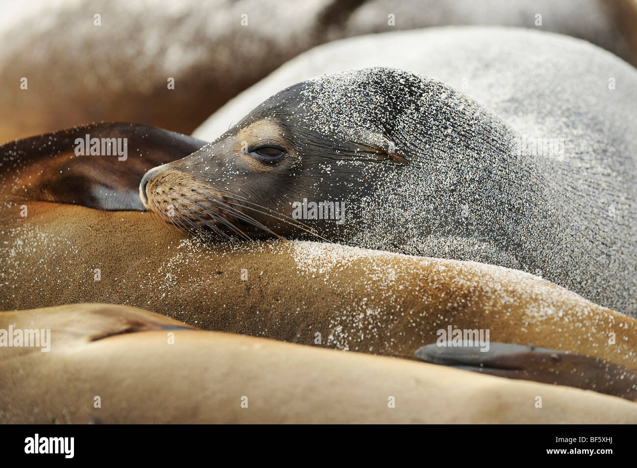 Galapagos Sea Lion (Zalophus wollebaeki), adult at beach, Espanola Island, Galapagos, Ecuador, South America - Stock Image