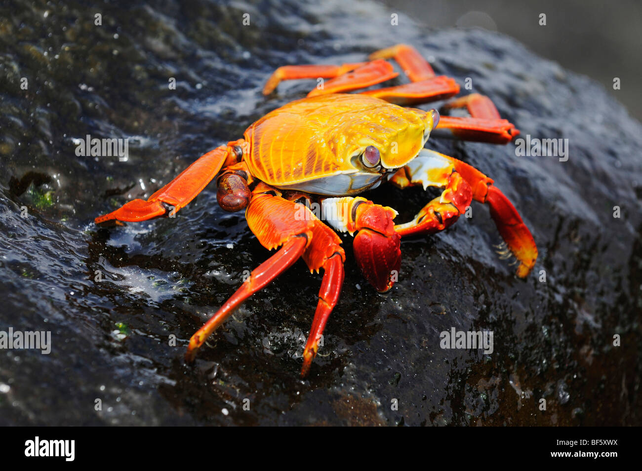 Sally Lightfoot Crab (Grapsus grapsus), adult, Espa ola Island, Galapagos, Ecuador, South America - Stock Image