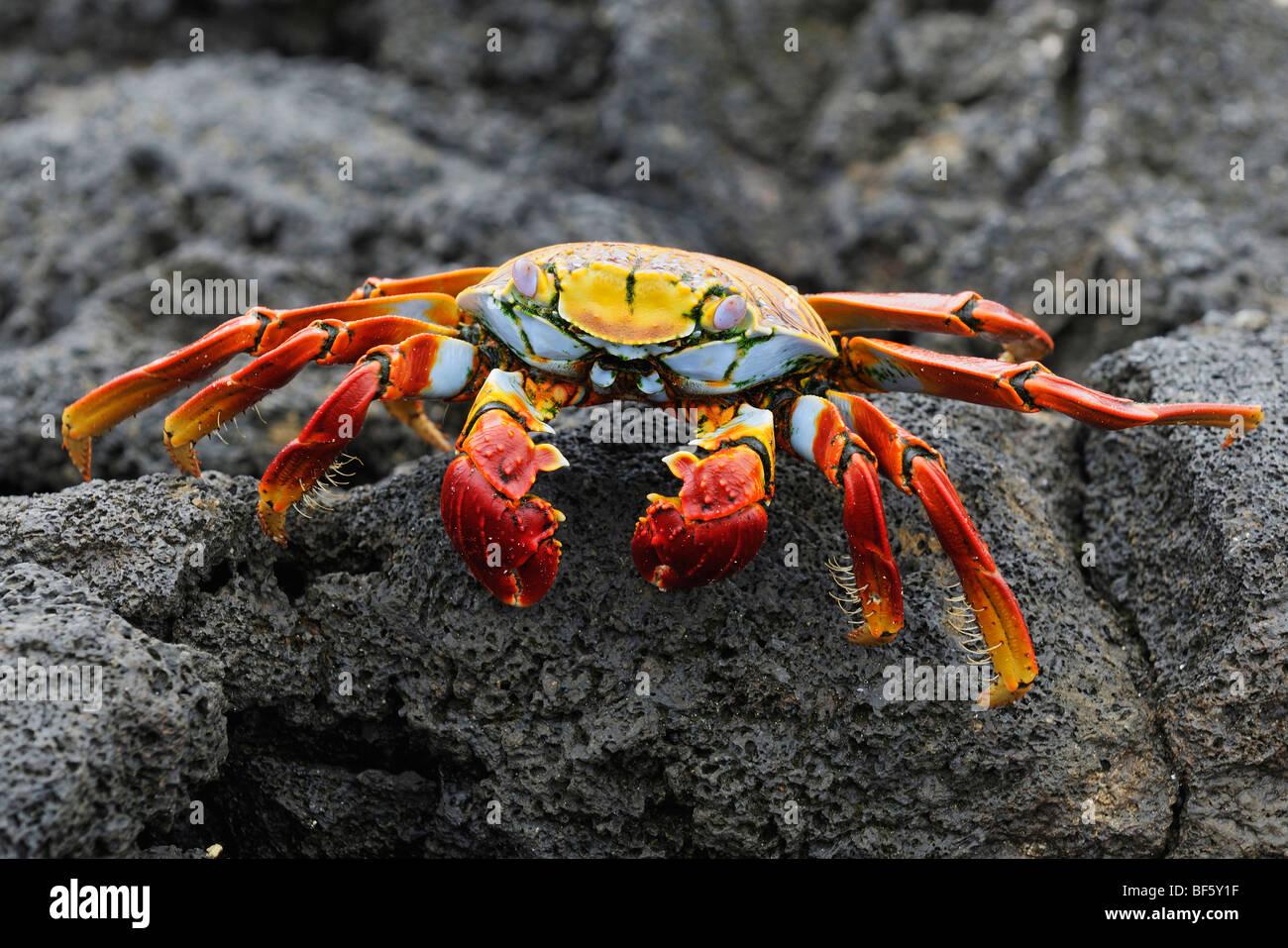 Sally Lightfoot Crab (Grapsus grapsus), adult, Espa ola Island, Galapagos, Ecuador, South America - Stock Image