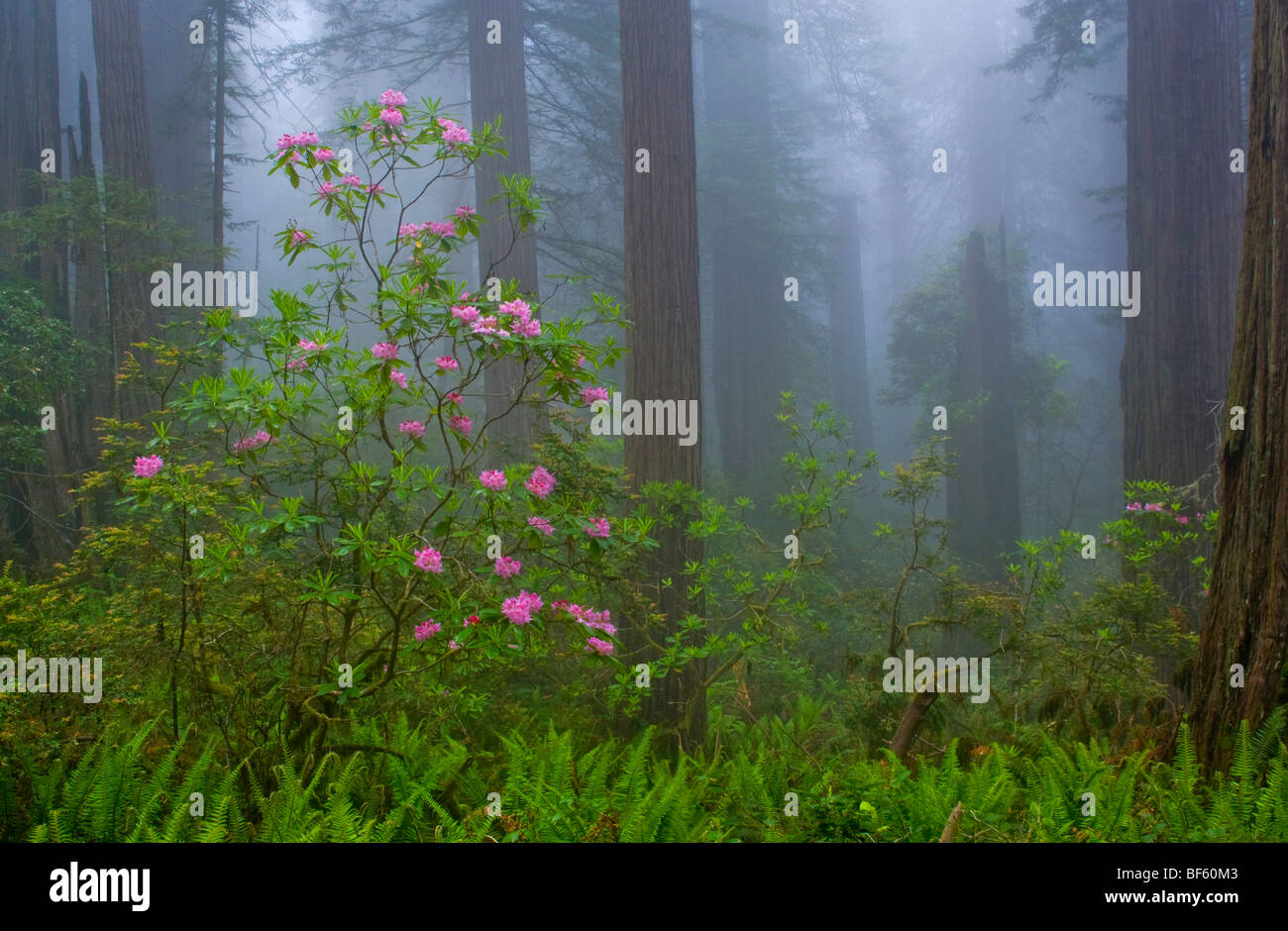 Wild Rhododendron flowers in bloom, Redwood trees, and fog in forest, Redwood National Park, California - Stock Image
