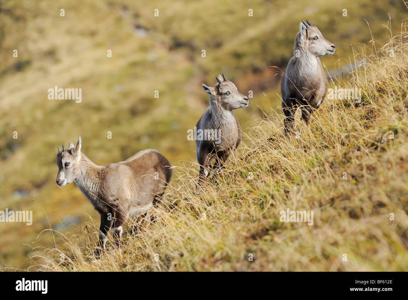 Alpine Ibex (Capra ibex), young, Niederhorn, Interlaken, Switzerland, Europe - Stock Image