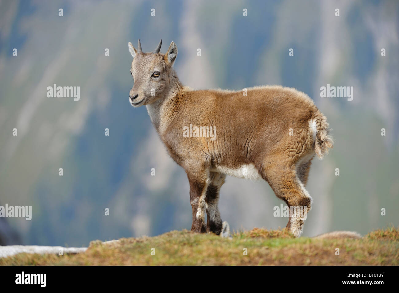 Alpine Ibex (Capra ibex), young, Niederhorn, Interlaken, Switzerland, Europe - Stock Image