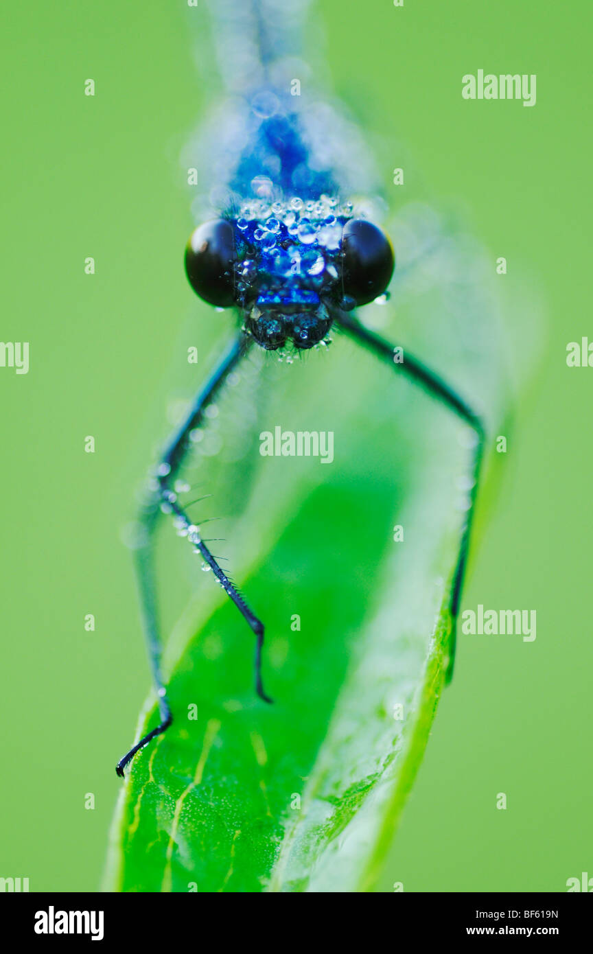 Banded Demoiselle (Calopteryx splendens), male perched dew covered, Zug, Switzerland Stock Photo