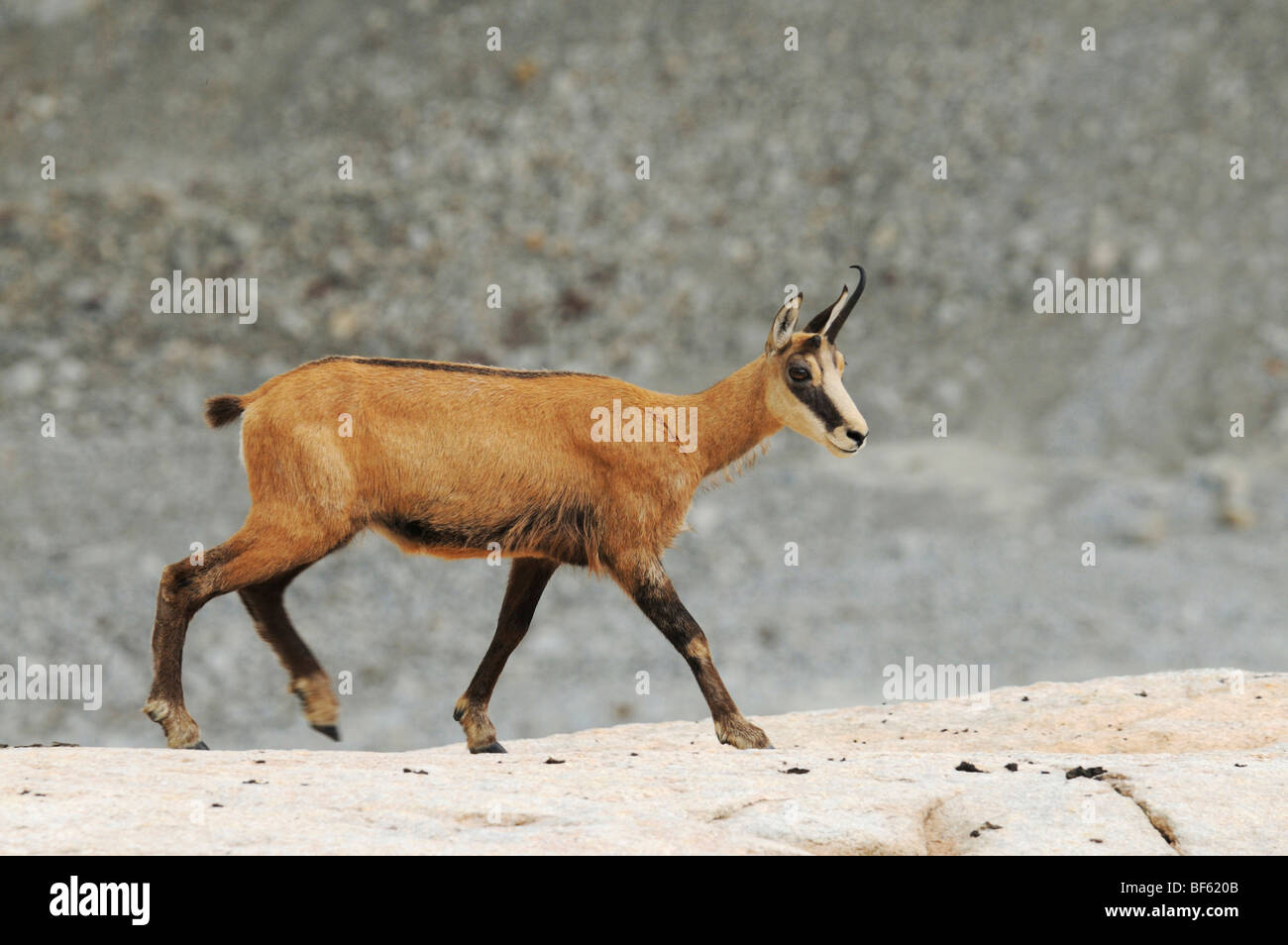 Chamois (Rupicapra rupicapra), adult walking, Grimsel, Bern, Switzerland, Europe - Stock Image