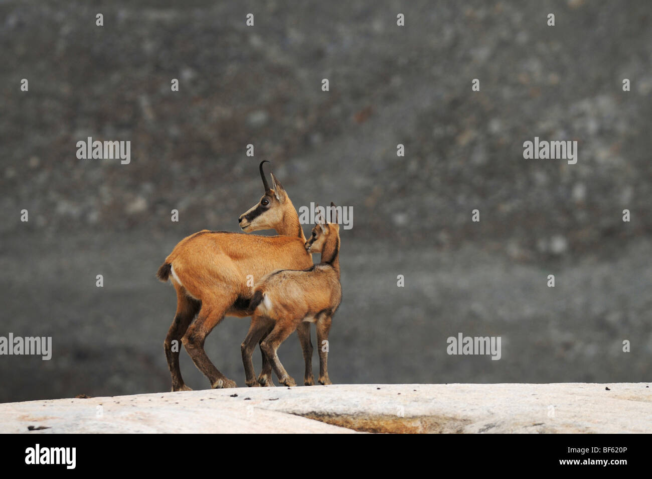 Chamois (Rupicapra rupicapra), female with young, Grimsel, Bern, Switzerland, Europe - Stock Image