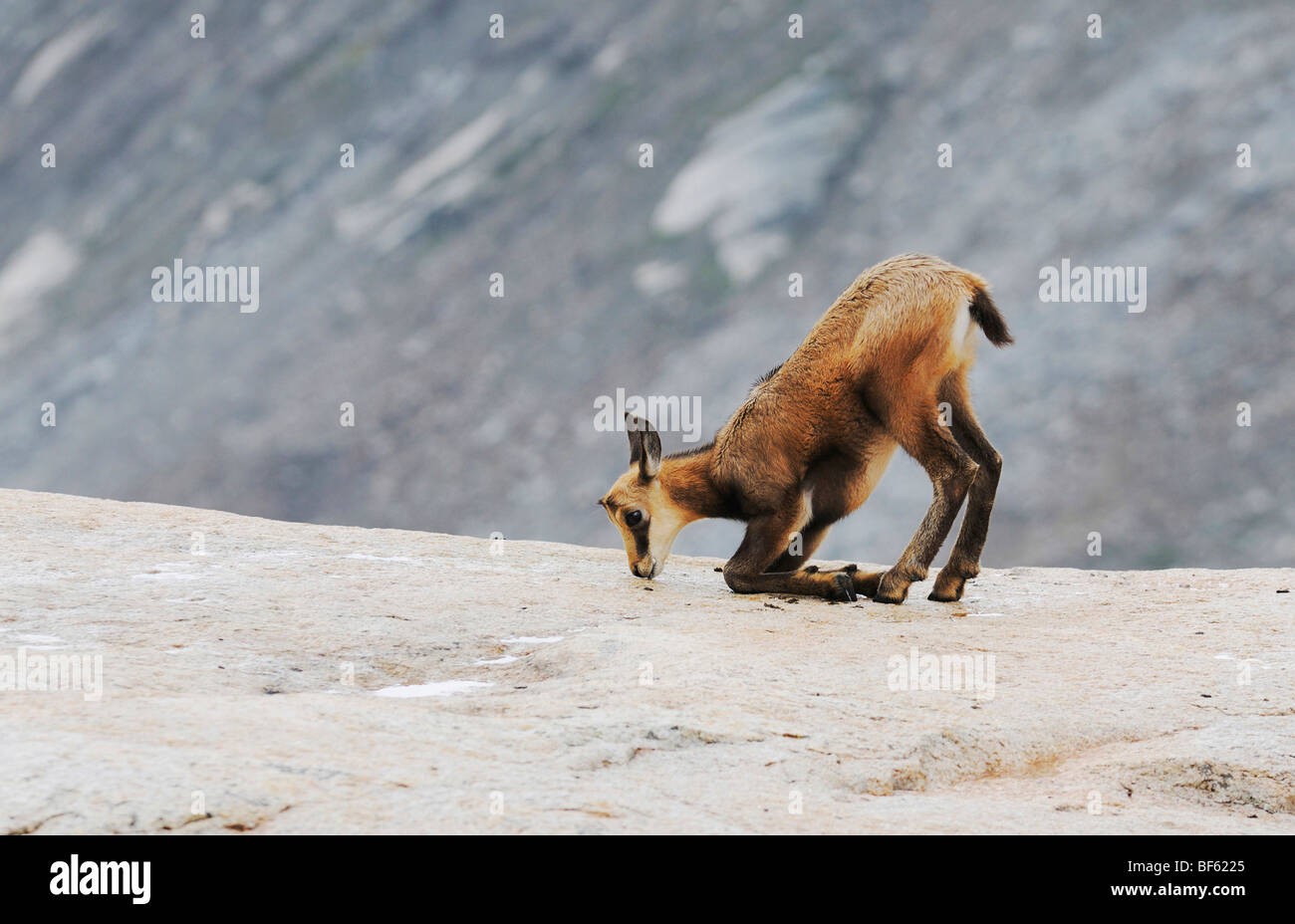 Chamois (Rupicapra rupicapra), young licking minerals, Grimsel, Bern, Switzerland, Europe - Stock Image