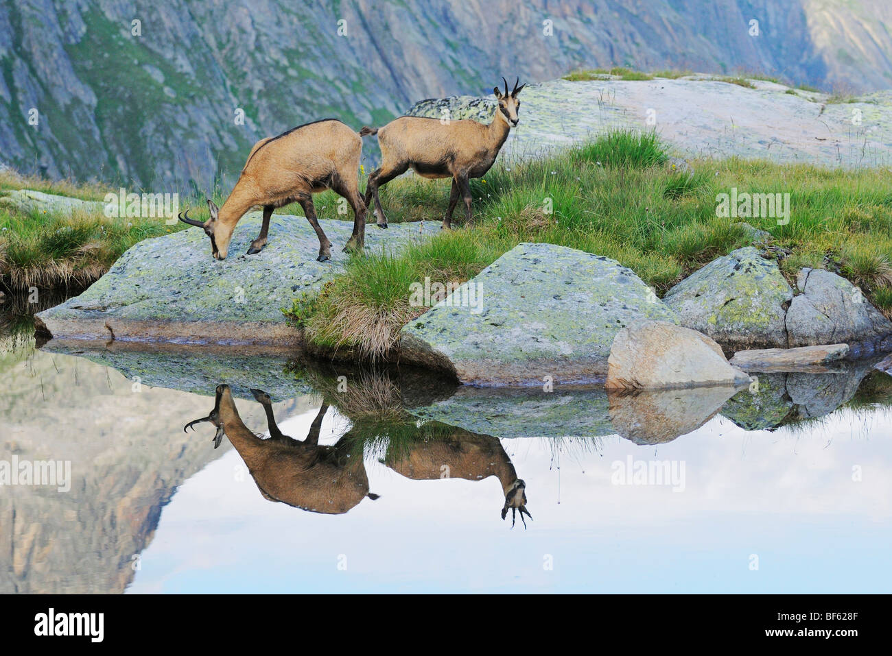 Chamois (Rupicapra rupicapra), adults with reflection in lake, Grimsel, Bern, Switzerland, Europe - Stock Image