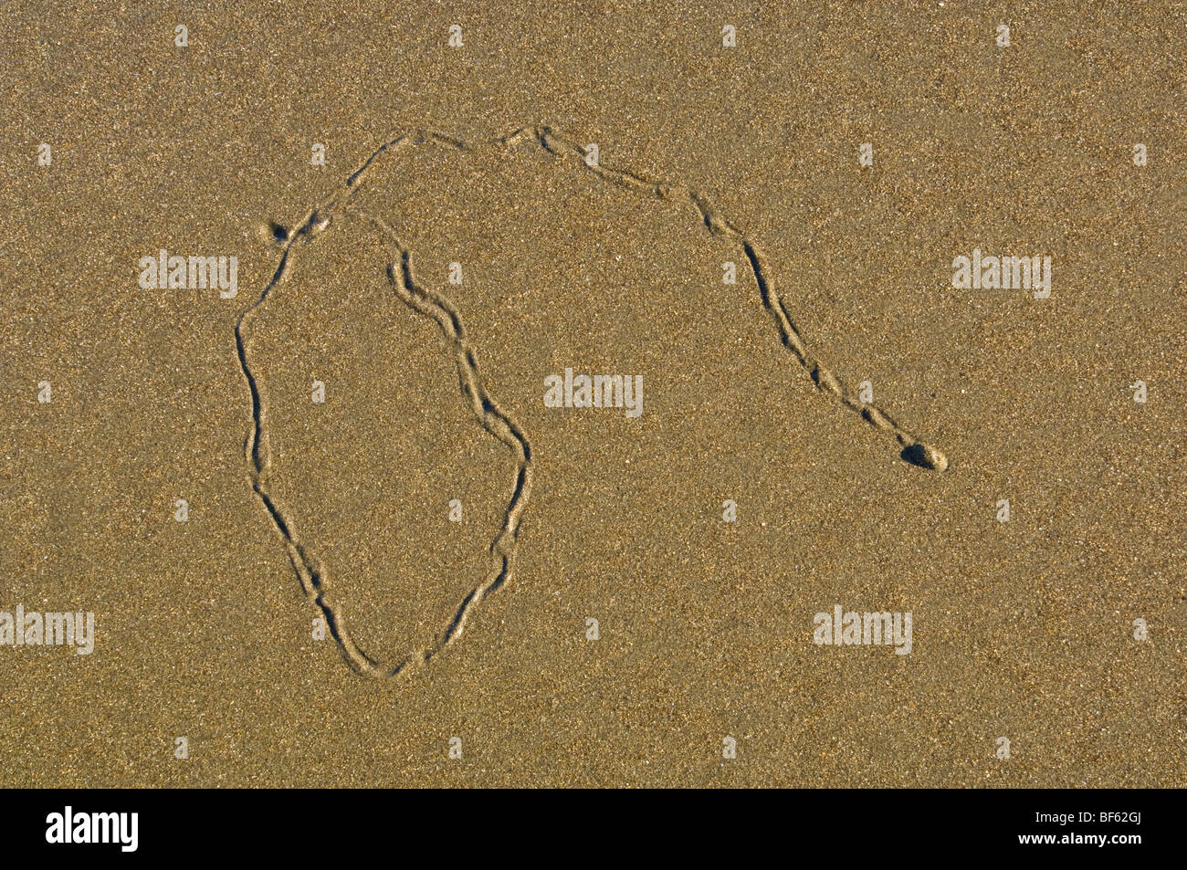 Snail trail in sand at low tide, Trinidad State Beach, Humboldt County, California - Stock Image