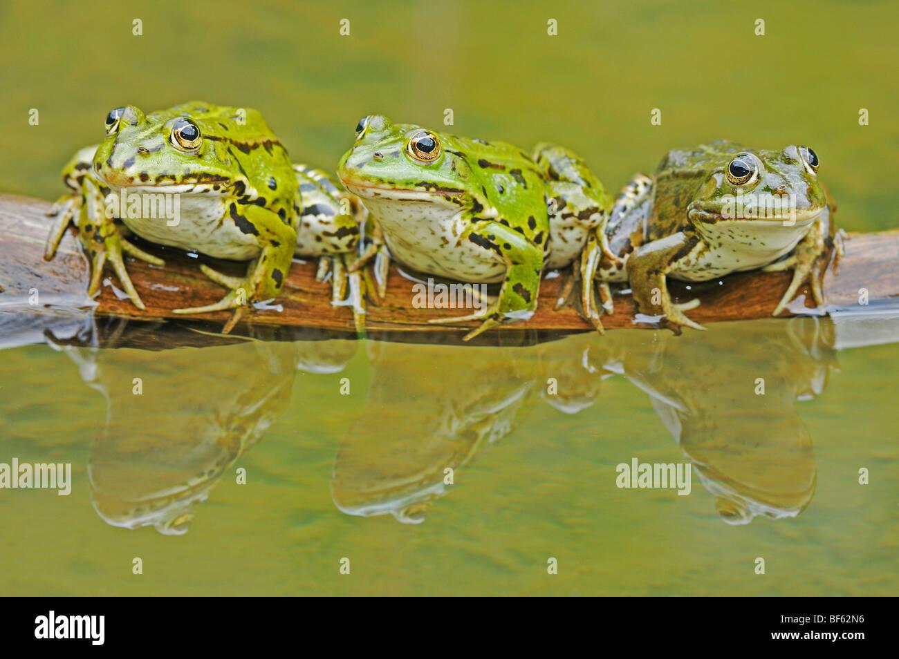 Edible Frog (Rana esculenta), adults on log, Switzerland, Europe - Stock Image