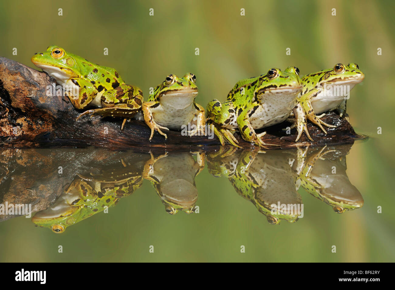 Edible Frog (Rana esculenta), adults on log, Switzerland, Europe - Stock Image