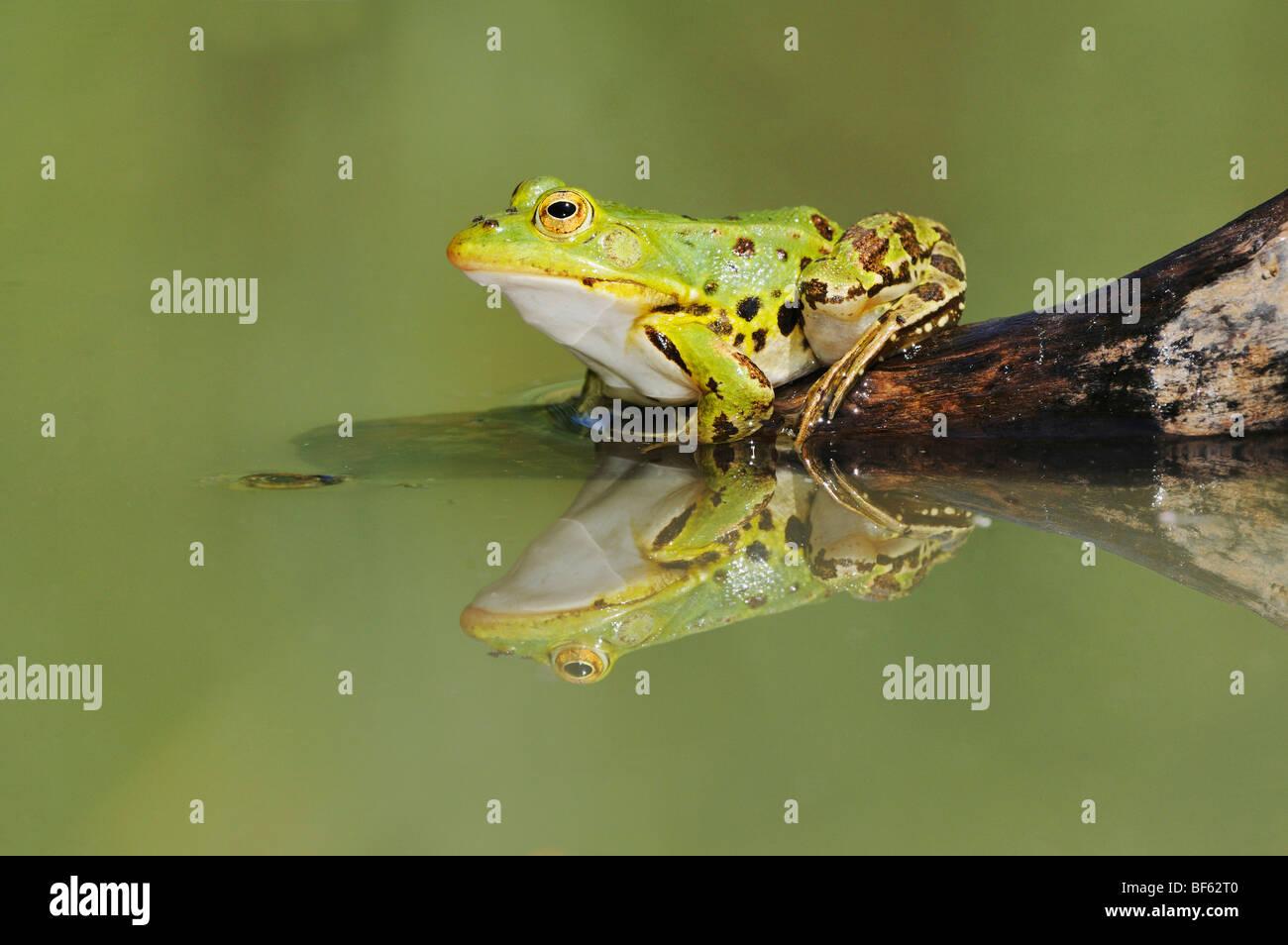 Edible Frog (Rana esculenta), adult on log, Switzerland, Europe - Stock Image