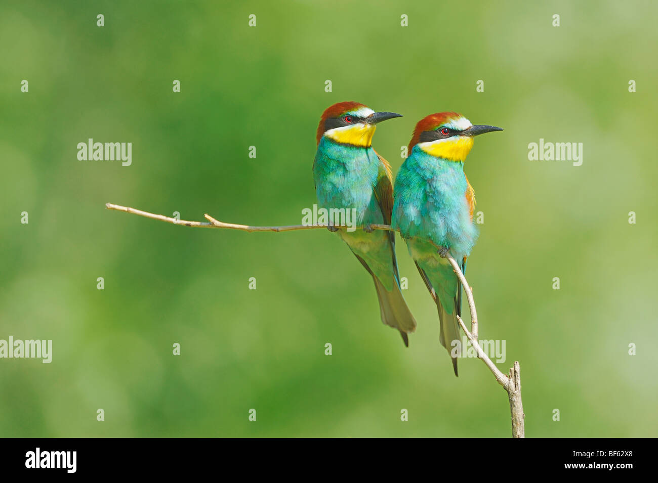 European Bee-eater (Merops apiaster),adults perched, Hungary, Europe - Stock Image